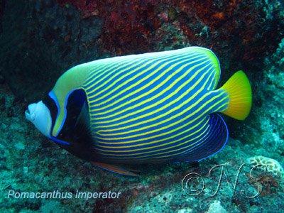 Pomacanthus imperator Nosy Bé