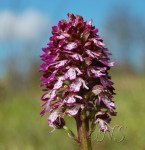 <b> orchis purpurea</b> <br />