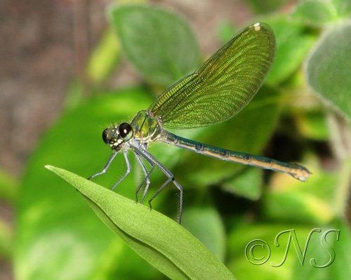 Une libellule de pose sur le mur de plantes
