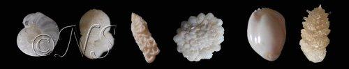 ns-foram-divers foraminifères dans LES FORAMINIFERES