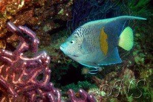poisson ange Oman