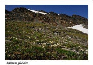 Anemone glacialis Iseran Haute Maurienne juillet 2014 (30) copie