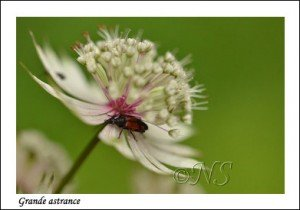 Astrantia major Haute Maurienne juillet 2014 (7) copie
