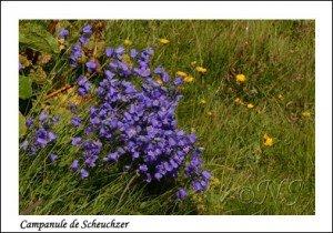 Campanula scheuchzeri Haute Maurienne juillet 2014 (3) copie