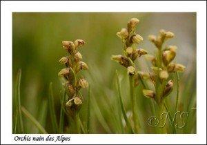 Chamorchis alpina Haute Maurienne juillet 2014 (4) copie
