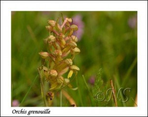 Coeloglossum viride  Haute Maurienne juillet 2014 (2) copie