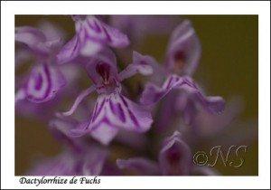 Dactylorhira fuchsii Haute Maurienne juillet 2014 (2) copie