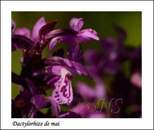 Dactylorhiza majalis Haute Maurienne juillet 2014 (1) copie