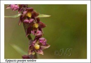 Epipactis atrorubens Haute Maurienne juillet 2014 (7) copie