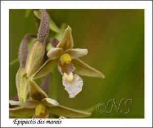Epipactis palustris  Haute Maurienne juillet 2014 (3) copie
