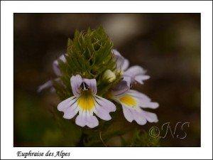 Euphrasia alpina Haute Maurienne juillet 2014 (4) copie