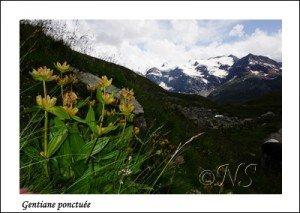 Gentiana punctata  Haute Maurienne juillet 2014 (7) copie