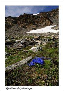 Gentiana verna  Haute Maurienne juillet 2014 (12) copie