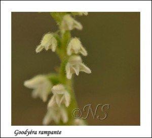 Goodyera repens  Haute Maurienne juillet 2014 (1) copie
