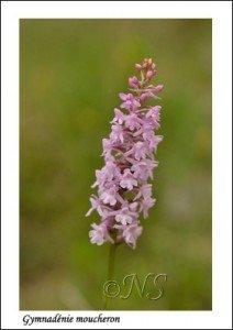 Gymnadenia conopsea  Haute Maurienne juillet 2014 (6) copie
