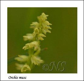 Herminium monorchis  Haute Maurienne juillet 2014 (1) copie