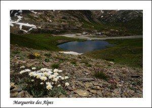 Leucanthemopsis alpina Haute Maurienne juillet 2014 (76) copie