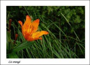 Lilium bulbiferum Haute Maurienne juillet 2014 (6) copie
