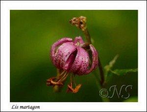 Lilium martagon Haute Maurienne juillet 2014 (3) copie