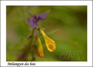 Melampyrum nemorosum Haute Maurienne juillet 2014 (5) copie