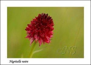 Nigritella nigra Haute Maurienne juillet 2014 (4) copie