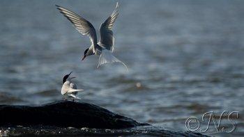 blog Sterne arctique Hornsund Spitzberg-13