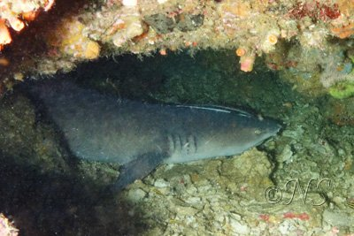 Requin corail Philippines (2b) copie