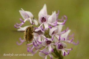 NS Orchis simia et bombyle Maisse (3)