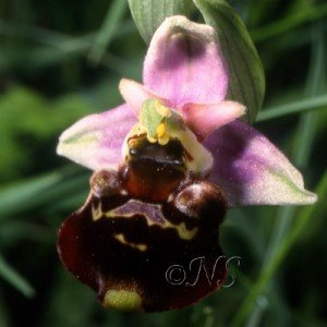 NS Ophrys fuciflora