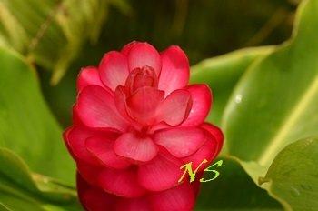Alpinia purpurata Guadeloupe  (3)