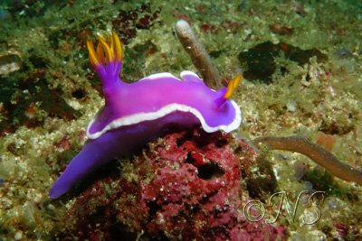 blog Nudibranche bleu Philippines (3)