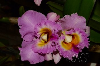 Cattleya Expo O91 2016 (108) copie