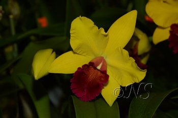 Cattleya Expo O91 2016 (109) copie