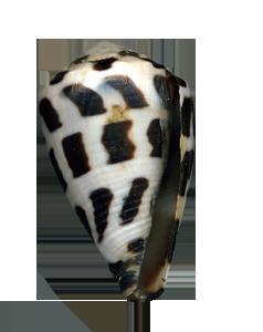 Conus ebraeus Nosy Bé copie