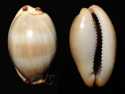 Cypraea lurida Medit
