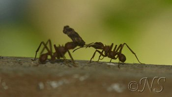 fourmis champignonistes-Guadeloupe