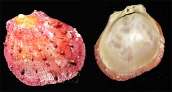 gryphea angulata Méditerranée